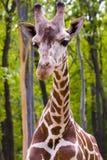 Reticulated giraffe. Head of a reticulated giraffe (Giraffa camelopardalis reticulata Stock Photo