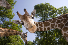 Reticulated giraffe. (Giraffa camelopardalis reticulata) head Stock Photo