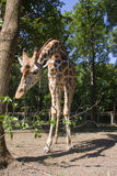 Reticulated giraffe Stock Photography