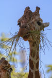 Reticulated giraffe. The reticulated giraffe, also known as the Somali giraffe, is a species of giraffe native to the Horn of Africa. It lives in Somalia Stock Photography