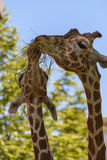 Reticulated giraffe. The reticulated giraffe, also known as the Somali giraffe, is a species of giraffe native to the Horn of Africa. It lives in Somalia Stock Images