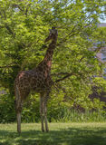 Reticulated giraffe. The reticulated giraffe, also known as the Somali giraffe, is a species of giraffe native to the Horn of Africa. It lives in Somalia Royalty Free Stock Photo