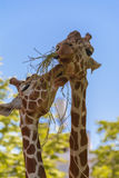 Reticulated giraffe. The reticulated giraffe, also known as the Somali giraffe, is a species of giraffe native to the Horn of Africa. It lives in Somalia Royalty Free Stock Photos