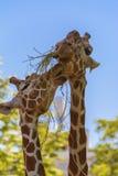 Reticulated giraffe Royalty Free Stock Photos