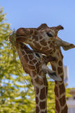 Reticulated giraffe. The reticulated giraffe, also known as the Somali giraffe, is a species of giraffe native to the Horn of Africa. It lives in Somalia Royalty Free Stock Image