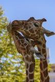 Reticulated giraffe Royalty Free Stock Image