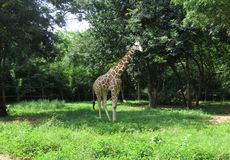 The reticulated giraffe stock image