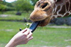 Reticulated Giraffe being fed by a woman Royalty Free Stock Image