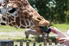 Reticulated Giraffe being fed by a woman Royalty Free Stock Photography