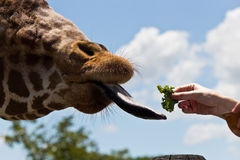 Reticulated Giraffe being fed by a woman Stock Photo