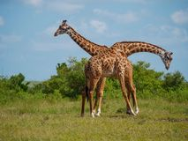 Reticulated giraffe couple in a Kenya royalty free stock photo