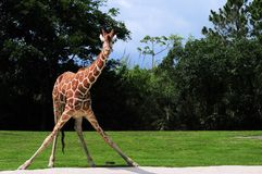 Reticulated giraffe drinking position Stock Images