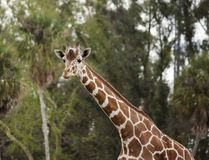 A giraffe finishes a drink and poses for a portrait stock images