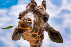 Reticulated Giraffe Eating Royalty Free Stock Photo