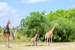 Reticulated Giraffe Family Stock Image