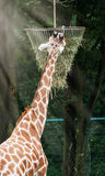 The reticulated giraffe feeding hay. The reticulated giraffe (Giraffa camelopardalis reticulata) feeding hay Stock Images