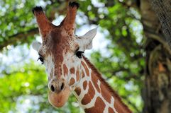 Reticulated giraffe frontal portrait Royalty Free Stock Images