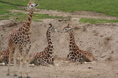 Reticulated giraffe (Giraffa camelopardalis) Royalty Free Stock Image