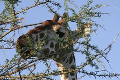 A Reticulated Giraffe {Giraffa Camelopardalis. royalty free stock photos
