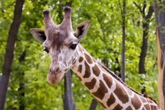 Reticulated giraffe (Giraffa camelopardalis retic Stock Images
