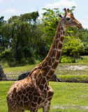 Reticulated Giraffe - Giraffa camelopardalis reticulata Royalty Free Stock Photography