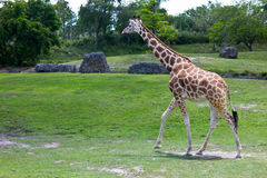 Reticulated Giraffe - Giraffa camelopardalis reticulata Royalty Free Stock Photo