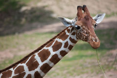 Reticulated giraffe Giraffa camelopardalis reticulata. Reticulated giraffe Giraffa camelopardalis reticulata, also known as the Somali giraffe royalty free stock images