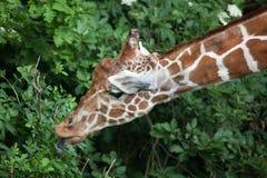 Reticulated giraffe Giraffa camelopardalis reticulata. Royalty Free Stock Images