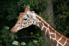 Reticulated giraffe Giraffa camelopardalis reticulata. Reticulated giraffe Giraffa camelopardalis reticulata, also known as the Somali giraffe royalty free stock photography