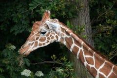 Reticulated giraffe Giraffa camelopardalis reticulata. Royalty Free Stock Photography
