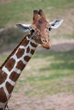 Reticulated giraffe Giraffa camelopardalis reticulata. Reticulated giraffe Giraffa camelopardalis reticulata, also known as the Somali giraffe Royalty Free Stock Images