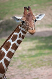 Reticulated giraffe Giraffa camelopardalis reticulata. Reticulated giraffe Giraffa camelopardalis reticulata, also known as the Somali giraffe Royalty Free Stock Photos