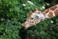 Reticulated giraffe Giraffa camelopardalis reticulata. Stock Images