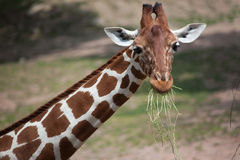 Reticulated giraffe Giraffa camelopardalis reticulata. Reticulated giraffe Giraffa camelopardalis reticulata, also known as the Somali giraffe Royalty Free Stock Photo
