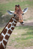 Reticulated giraffe Giraffa camelopardalis reticulata. Reticulated giraffe Giraffa camelopardalis reticulata, also known as the Somali giraffe stock image