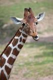 Reticulated giraffe Giraffa camelopardalis reticulata. Reticulated giraffe Giraffa camelopardalis reticulata, also known as the Somali giraffe Stock Image