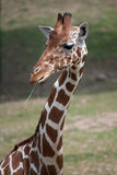 Reticulated giraffe Giraffa camelopardalis reticulata. Reticulated giraffe Giraffa camelopardalis reticulata, also known as the Somali giraffe stock images