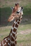 Reticulated giraffe Giraffa camelopardalis reticulata. Reticulated giraffe Giraffa camelopardalis reticulata, also known as the Somali giraffe Stock Images