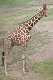 Reticulated giraffe Giraffa camelopardalis reticulata. Royalty Free Stock Images
