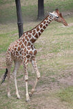Reticulated giraffe Giraffa camelopardalis reticulata. Reticulated giraffe Giraffa camelopardalis reticulata, also known as the Somali giraffe Royalty Free Stock Photography