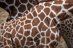 Reticulated giraffe Giraffa camelopardalis reticulata. Reticulated giraffe Giraffa camelopardalis reticulata, also known as the Somali giraffe. Skin texture royalty free stock photo