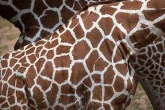 Reticulated giraffe Giraffa camelopardalis reticulata. Reticulated giraffe Giraffa camelopardalis reticulata, also known as the Somali giraffe. Skin texture Royalty Free Stock Photo
