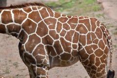 Reticulated giraffe Giraffa camelopardalis reticulata. Reticulated giraffe Giraffa camelopardalis reticulata, also known as the Somali giraffe. Skin texture Stock Image