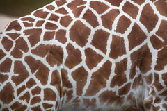 Reticulated giraffe Giraffa camelopardalis reticulata. Reticulated giraffe Giraffa camelopardalis reticulata, also known as the Somali giraffe. Skin texture royalty free stock photography
