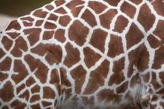 Reticulated giraffe Giraffa camelopardalis reticulata. Reticulated giraffe Giraffa camelopardalis reticulata, also known as the Somali giraffe. Skin texture Royalty Free Stock Photography