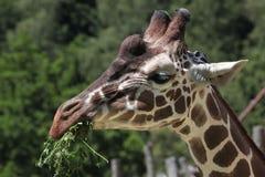 Reticulated giraffe (Giraffa camelopardalis reticulata). Reticulated giraffe (Giraffa camelopardalis reticulata), also known as the Somali giraffe. Wild life Stock Image