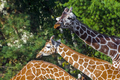 Reticulated giraffe royalty free stock photos