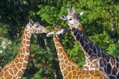 Reticulated giraffe Stock Photo