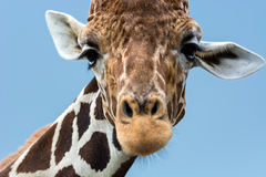 Reticulated Giraffe (Giraffa camelopardalis reticulata) Royalty Free Stock Photos