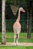 The reticulated giraffe (Giraffa camelopardalis reticulata) Stock Image